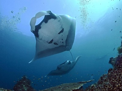 Hiu dan Manta Muncul di Laut Dangkal Raja Ampat Saat Wisata Tutup