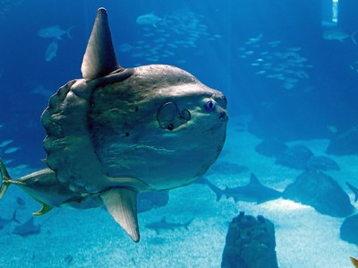 Mola mola, Ikan Paling Ajaib dari Indonesia