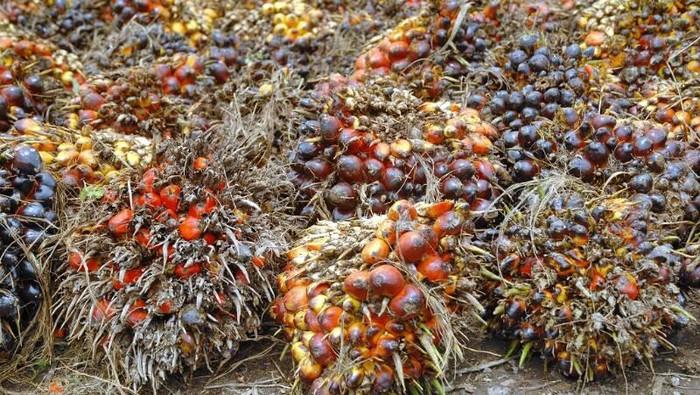 Minyak Sawit produksi Indonesia selama ini selalu dijegal oleh berbagai pihak yang salah satunya Eropa. Mulai dari isu kesehatan sampai isu lingkungan.
