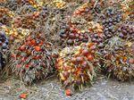 Minyak Sawit 3,7 Ton Tumpah, Pantai Buton Sultra Bau Menyengat