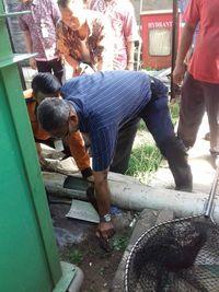 Proses penangkapan ular sanca di RS