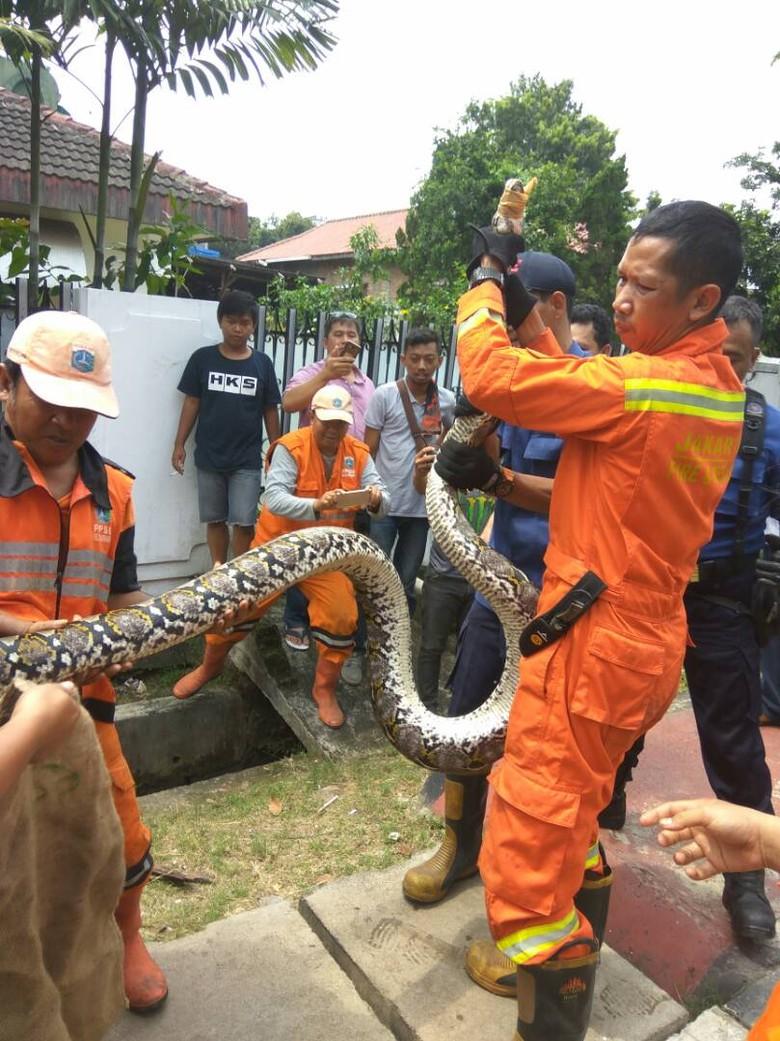 Munculnya Ular Piton di Jakarta Dipicu Kenaikan Populasi Tikus?