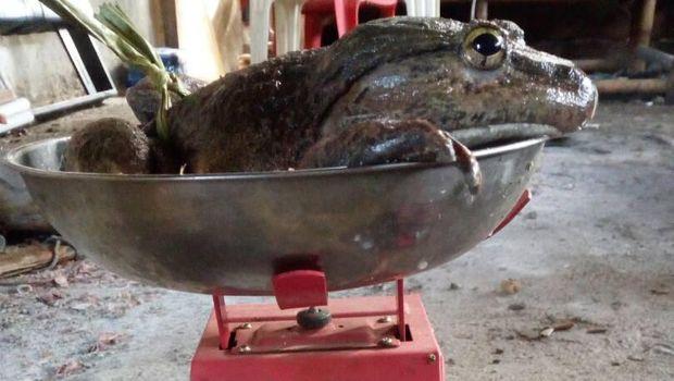 Katak raksasa itu memiliki berat 1,5 kg.