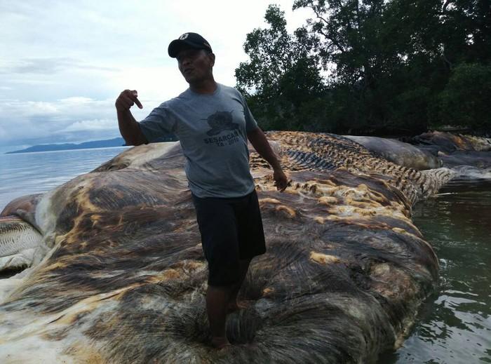 Bangkai hewan raksasa yang ditemukan di Laut Maluku. (Foto: dok. Pendam Pattimura)