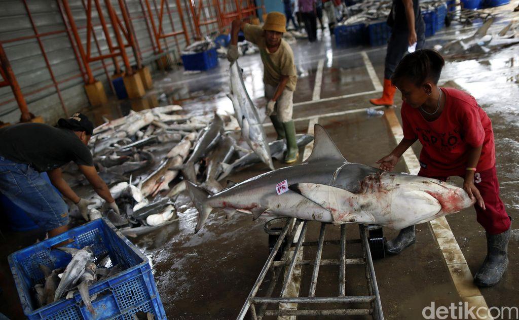 Meski dilarang, perburuan dan perdagangan sirip hiu masih marak di Tempat Pelelangan Ikan (TPI) Karang Song, Indramayu, Jawa Barat.