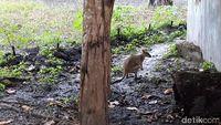 43+ Walabi adalah hewan endemik dari terupdate