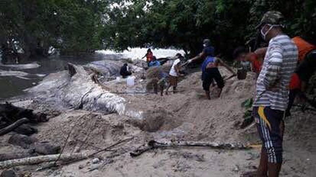 Bangkai hewan yang sempat diduga cumi raksasa di Maluku dikuburkan warga setempat