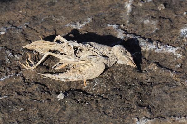 Kelelawar dan burung-burung pernah ditemukan mati terdampar dalam kondisi membatu. Belum ada orang yang mengetahui dengan pasti bagaimana hewan-hewan itu mati, tetapi sepertinya permukaan danau yang seperti kaca mengelabui hewan untuk menyelam ke dalam air (Thinkstock)
