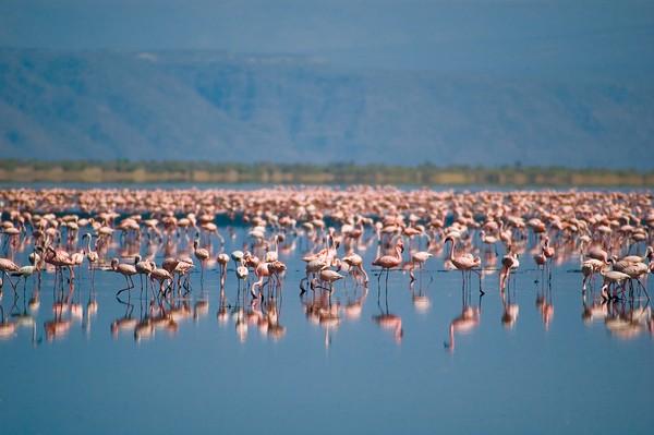 Saat melihatnya dari dekat, burung-burung flamingo yang ada di pinggiran danaunya menambah elok pemandangan. Namun di balik itu semua, Danau Natron terkenal sebagai tempat paling mematikan (Thinkstock)