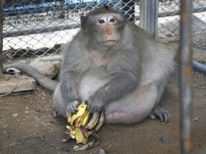 Monyet Seberat 27 Kg Ini Alami Obesitas karena Diberi Makan <i>Junk Food</i>
