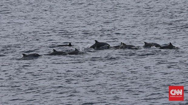 Arak-arakan lumba-lumba di perairan sekitar Benteng Anoi Itam.