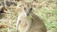 Kanguru di Merauke (Okta Marafiano/detikTravel)