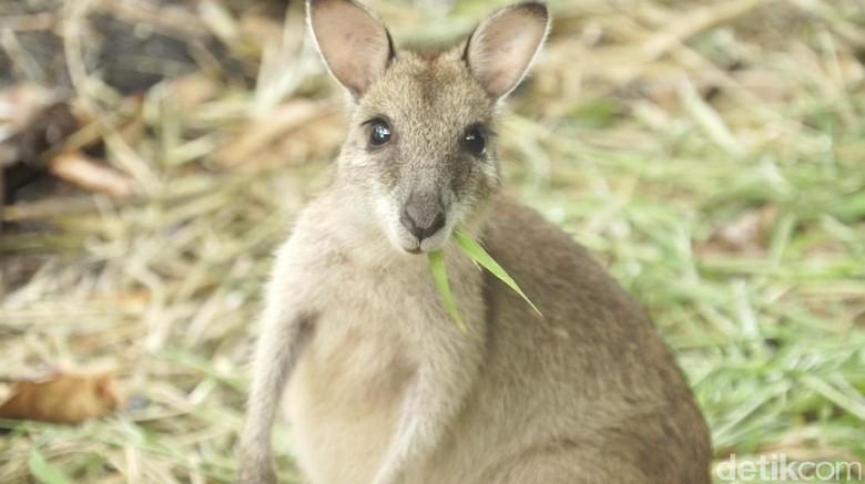Foto: Kanguru Papua (dok 20detik)