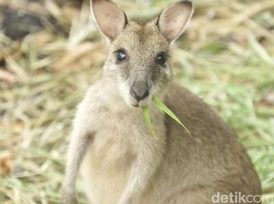 Yang Kamu Harus Tahu Tentang Kanguru Papua