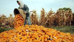 Pinjam 100.000 Ton Jagung dari Korporasi, Mentan: Jumlahnya Kecil