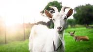 5 Manfaat Susu Kambing, Mencegah Virus dan Sehatkan Paru-paru