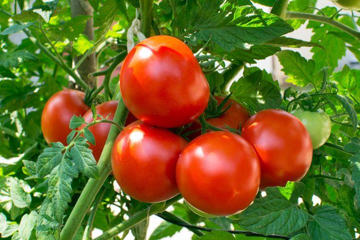 Tomat diputuskan pengandilan termasuk sayuran