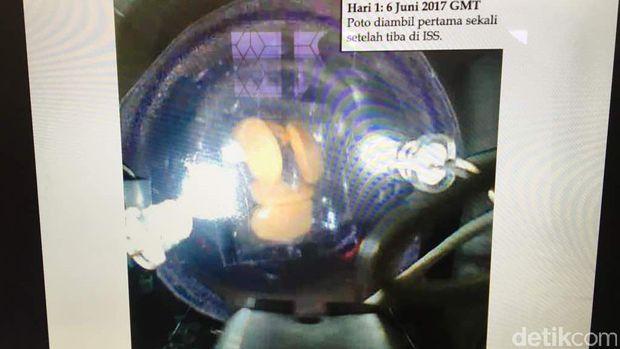 Model eksperimen tempe yang telah diluncurkan ke stasiun luar angkasa.