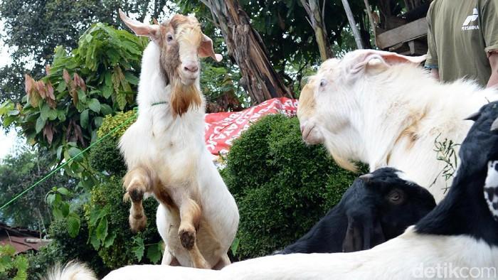 Torpedo kambing banyak diyakini bisa meningkatkan vitalitas seks (Foto: Ari Saputra)