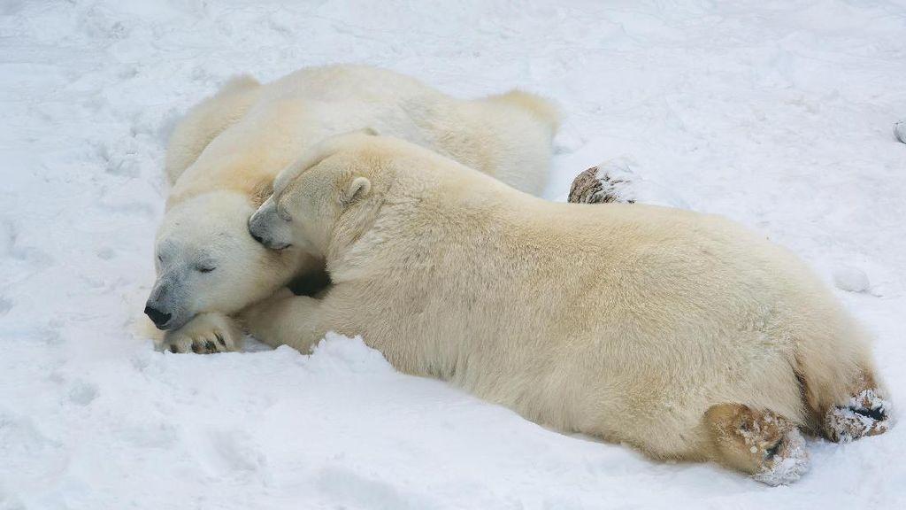 Beruang Kutub Ditembak Mati Usai Serang Pekerja Kapal Pesiar