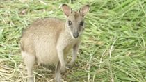 Foto: Beginilah Kanguru Papua