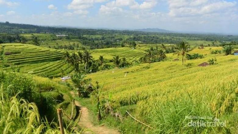 Foto: Jatiluwih, destinasi di Bali yang sudah mendunia (Lenny Permata Kusuma/dTraveler)