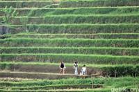 Salah satu kawasan Bali yang terkenal dengan keindahan subaknya yaitu di Desa Jatiluwih, Tabanan. (Randy/detikTravel)