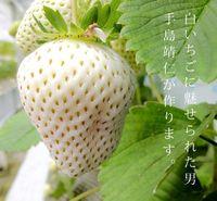 <i>White Jewel</i>, Strawberry Warna Putih Langka dengan Harga Rp 130.000 per Buah
