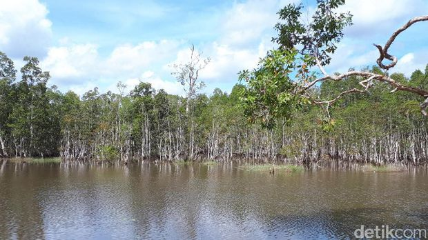 Hutan rawa di Merauke.