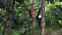 WWF: Wacana Palangka Raya Jadi Ibu Kota Harus Perhatikan Orangutan