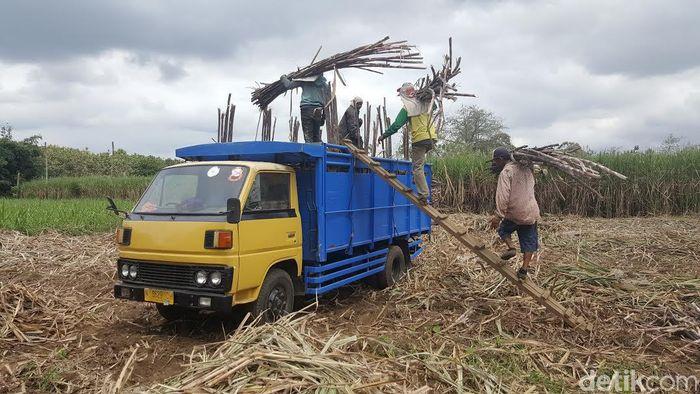 Petani tebu di Malang