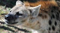 Hyena merupakan predator nomor dua yang paling banyak ditemukan di Afrika ( Heather Paul/ BBC)