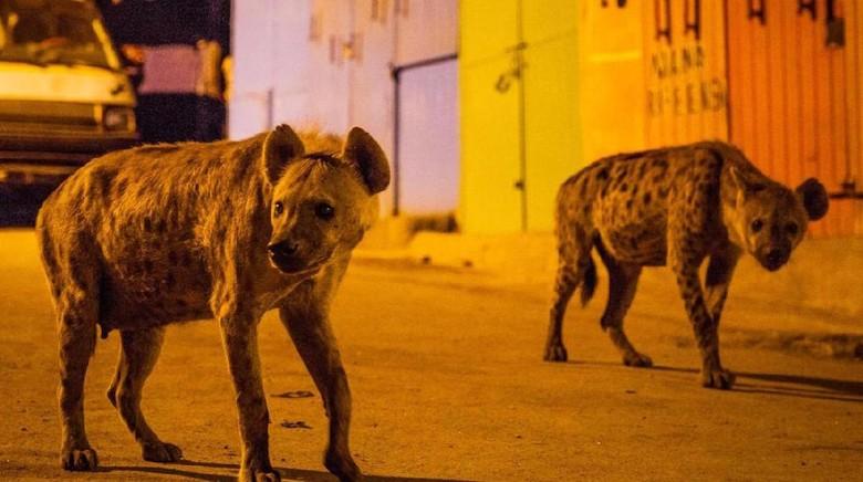 Kawanan Hyena di jalanan Harar, Ethiopia (Heather Paul/ BBC)