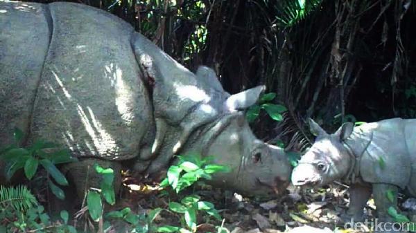 Taman Nasional Ujung Kulon menjadi habitat satwa langkaBadak Jawa. Ada pula fauna khas lainnya yaitu owa Jawa, surili dan anjing hutan. (Dok. Balai Taman Nasional Ujung Kulon)