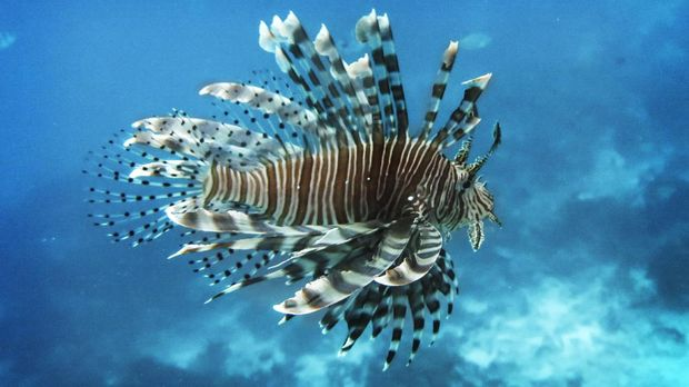 Duri lionfish diolah menjadi obat antikanker serviks