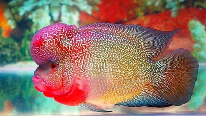 Ikan Louhan yang Mahal Digoreng