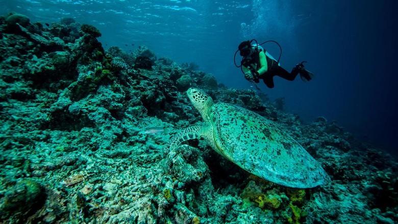 Foto: Menyelam di Derawan bisa melihat penyu (Thinkstock)