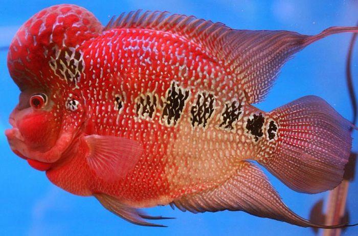 Bisnis ikan louhan. Bisnis ini sempat booming dan hampir semua orang Indonesia membeli ikan berkepala benjoltersebut. (Internet).