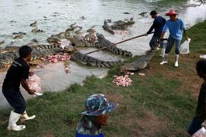 Peternakan Buaya Terbesar Sedunia Ada di Thailand