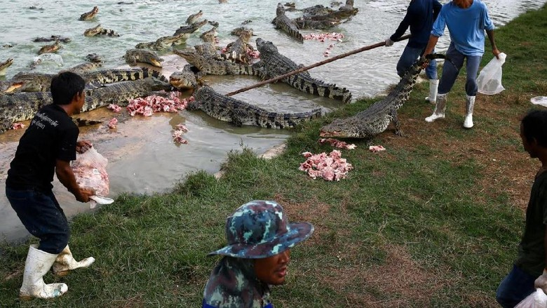Para pawang buaya peternakan Sri Ayutthaya (Athit Perawongmetha/ Reuters)
