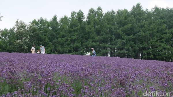 Kebun Tomita ada di Kota Furano, Hokkaido, Jepang. Spot menarik di area tersebut ialah sebuah bukit yang terdapat hamparan lavender (Baban/detikTravel)