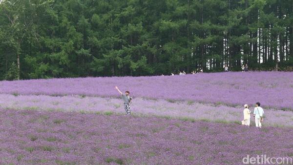 Seluruh area ladang Tomita dikelola swasta. Sosok Tokuma Tomita yang memprakarsai pendirian kebun lavender pada tahun 1958 (Baban/detikTravel)