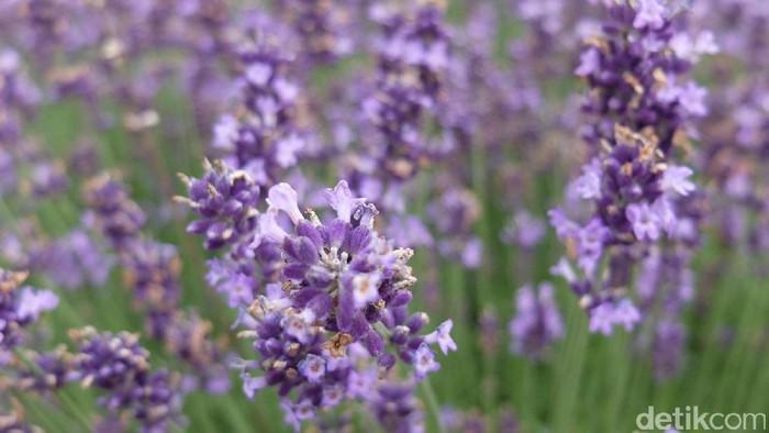 Lavender atau sereh sering dijadikan tanaman untuk mengusir nyamuk. Foto: Baban Gandapurnama
