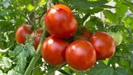 Dibandingkan Sekarang, Tomat 100 Tahun Lalu Rasanya Lebih Enak