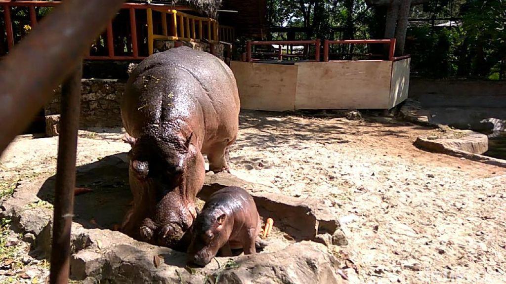 Foto: Gemas Banget! Ini Bayi Kuda Nil Kelahiran Lamongan