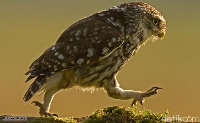 Burung hantu melangkah (BBC Nature Wildlife)