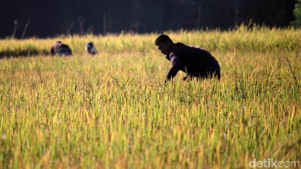 Ada Risiko Gagal Panen, Kementan Siapkan Asuransi untuk Petani