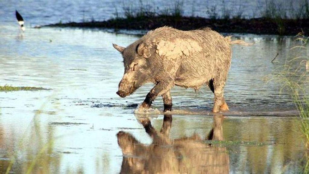 KLHK Ragukan Klaim Malaysia Soal Invasi Babi Hutan RI ke Malaka