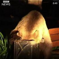 Beruang masuk kota di Rumania /
