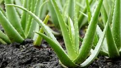 Ada beberapa tanaman yang bisa menghasilkan oksigen di malam hari sehingga sangat sehat untuk diletakkan di dalam rumah. Apa saja itu?
